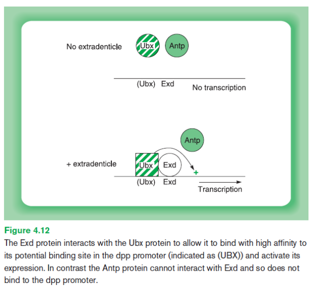exd-protein-interaction-with-ubx_tfs-are-dependant-on-others
