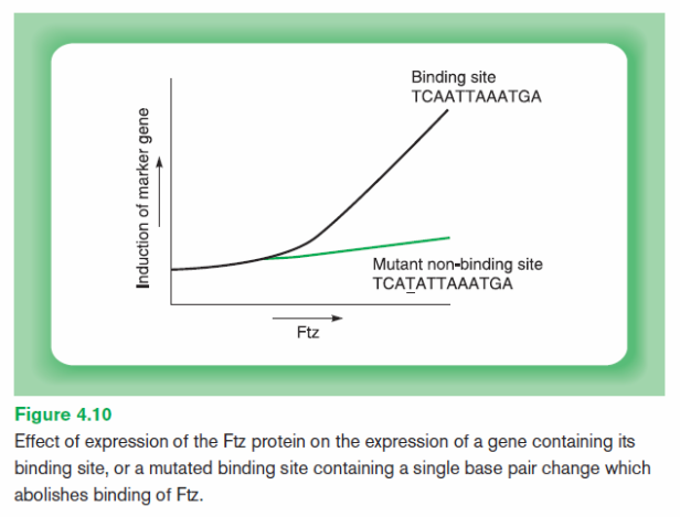 ftz-expression-with-and-without-mutated-site