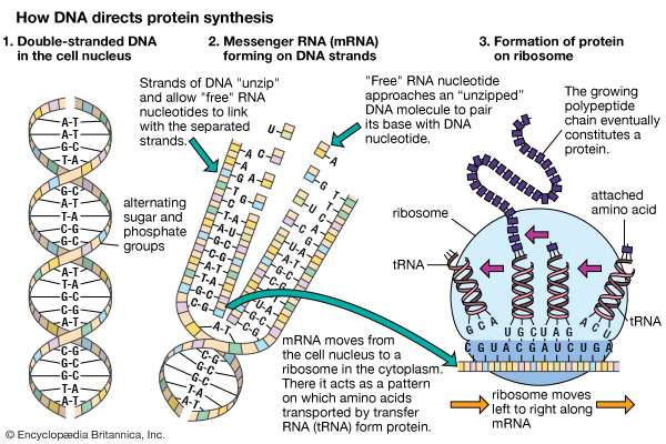 Dogma biology